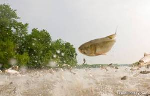 Asian carp jumping | Photo: Jason Lindsey